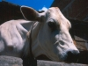manali-cow