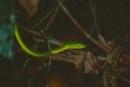 malaysia7_snake